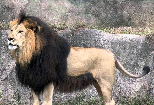 Leão da Barbary
